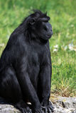 A Western Lowland Gorilla Stock Photos