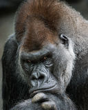 Western Lowland Gorilla II Stock Photo