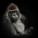 Western lowland gorilla II Stock Photos
