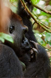 Western Lowland Gorilla. Royalty Free Stock Images