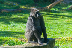 Western lowland gorilla Royalty Free Stock Images