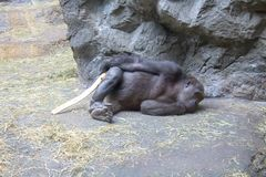 Western Lowland Gorilla making a posture and thinking royalty free stock photography