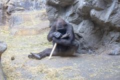 Western Lowland Gorilla playing with a stick stock images