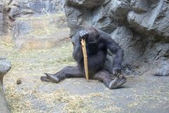 Western Lowland Gorilla playing with a stick royalty free stock image