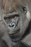 Western Lowland Gorilla Portrait Stock Photo