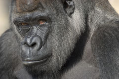 Western Lowland Gorilla Portrait Royalty Free Stock Photography
