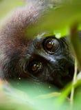 The western lowland gorilla Stock Photos