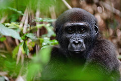 The western lowland gorilla Stock Images