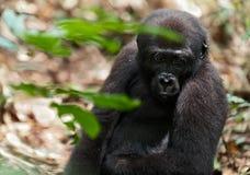 The western lowland gorilla Stock Photo