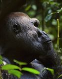Western Lowland Gorilla. Portrait of a gorilla at a short distance. Silverback - adult male of a gorilla. Western Lowland Gorilla Royalty Free Stock Photo