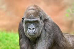 Western lowland gorilla Stock Photos