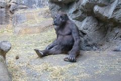 Western Lowland Gorilla relaxing stock photography