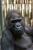 Western lowland gorilla - sad expression. Western lowland gorilla (Gorilla gorilla gorilla) - sad expression Royalty Free Stock Image