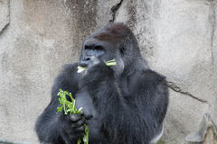 Western Lowland Gorilla. Sitting down and eating celery stock photography