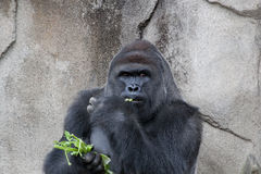 Western Lowland Gorilla. Sitting down and eating celery royalty free stock photos