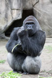 Western Lowland Gorilla. Sitting down and eating celery royalty free stock images