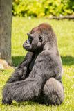 Western Lowland Gorilla Sitting in Grass and Looking into the Distance. Male Western Lowland Gorilla sitting in grass and looking into the distance on a sunny Royalty Free Stock Image