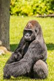 Western Lowland Gorilla Sitting in Grass and Making Eye Contact. Male Western Lowland Gorilla sitting in grass and making eye contact on a sunny day Stock Photos