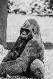 Western Lowland Gorilla Sitting in Grass and Making Eye Contact Monochromatic. Male Western Lowland Gorilla sitting in grass and making eye contact on a sunny Royalty Free Stock Photo
