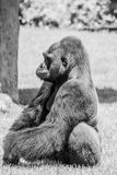 Western Lowland Gorilla Sitting in Grass on Sunny Day B&W. Male Western Lowland Gorilla sitting in grass and looking into the distance on sunny day black and Stock Image