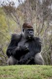 Western Lowland Gorilla sitting on a hill eating stock image