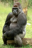 An  western lowland gorilla sitting on a log Stock Photography