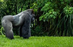 Western Lowland Gorilla Standing in Grass on Sunny Day. Male Western Lowland Gorilla standing in grass and looking into the distance side profile on sunny day Royalty Free Stock Photo