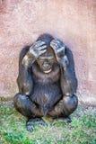 Western lowland gorilla is thinking Stock Image