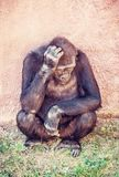 Western lowland gorilla is thinking, red filter Stock Image