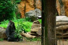 Western lowland gorilla Royalty Free Stock Image
