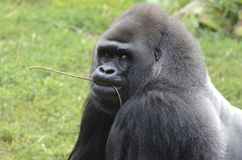 Western lowland gorilla with twig Stock Images