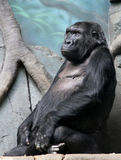 Western lowland gorilla in the zoo. Black western lowland gorilla  vv Royalty Free Stock Photo