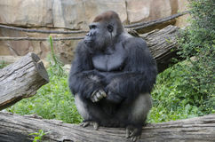Western Lowland Gorilla in Zoo stock photography