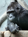Western lowland gorilla in the zoo. Portrait of Western lowland gorilla in the zoo Stock Images
