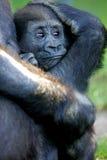 Western Lowland Gorillas Royalty Free Stock Photos