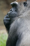 Western Lowland Gorillas Royalty Free Stock Image