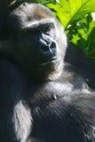 Western Lowland Gorillas Royalty Free Stock Image