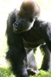 Western Lowland Gorillas royalty free stock photo