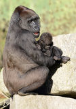 Western Lowland Gorillas - Mother and Baby Stock Photography