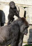 Western Lowland Gorillas - Mother and Baby Stock Images
