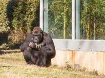 Western Lowland Male Gorilla Royalty Free Stock Photos