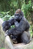 Western lowland male gorilla. Western lowland silver back male gorilla in the Bronx Zoo Royalty Free Stock Photos