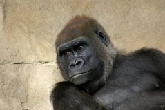 Western Lowland Male Silver Back Gorilla. Sitting against a rock. They are critically endangered Stock Photography