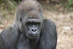 Western Lowland Silverback Gorila. Western lowland silverback gorilla starring back stock image
