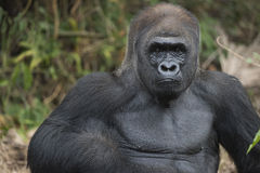 Western Lowland Silverback Gorila. Western lowland silverback gorilla starring back royalty free stock image