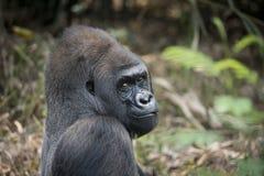 Western Lowland Silverback Gorila Smiling. Western lowland silverback gorilla starring back and smiling royalty free stock image
