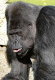 Western Lowland Silverback Gorilla Royalty Free Stock Photos