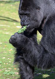 Western Lowland Silverback Gorilla Royalty Free Stock Photography