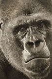 Western Lowland Silverback Gorilla Portrait Up Close Stock Photos