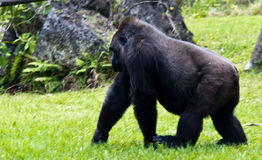 Western Lowlands Gorilla - Gorilla gorilla gorilla Royalty Free Stock Photography